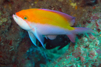 Bi Color Anthias