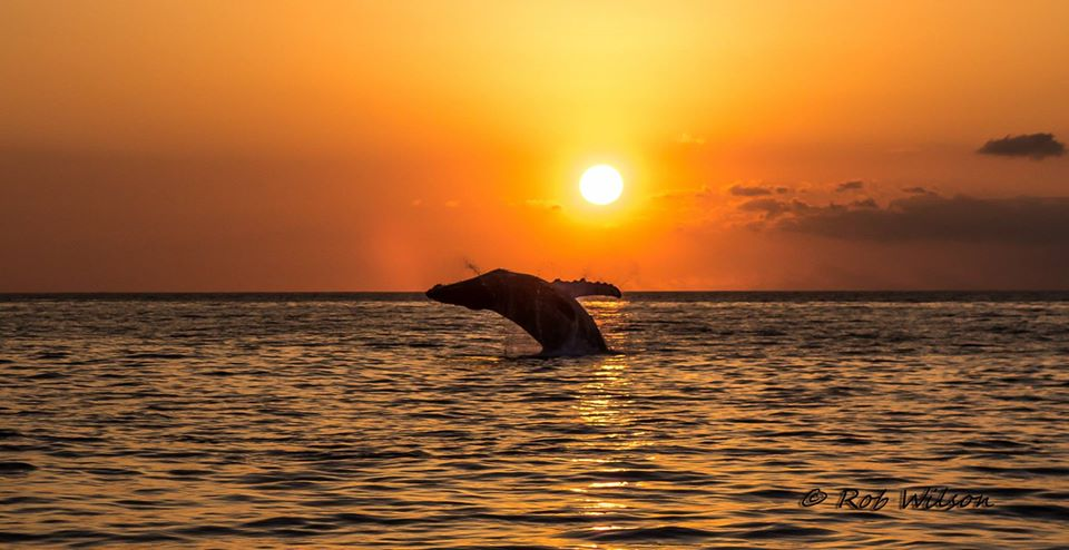Maui Diamond Whale at Sunset